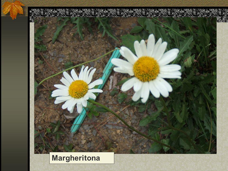 Margheritona Nome scientifico/popolare: leucantemum vulgare