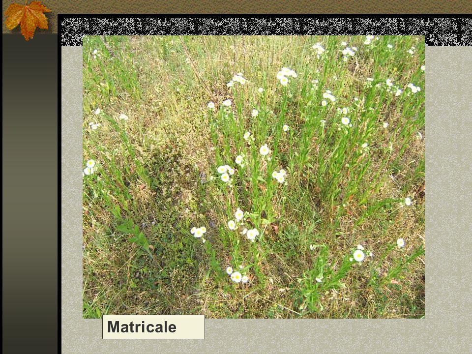 Nome scientifico/popolare: tanacetum parthenium / chrysanthemum parthenium