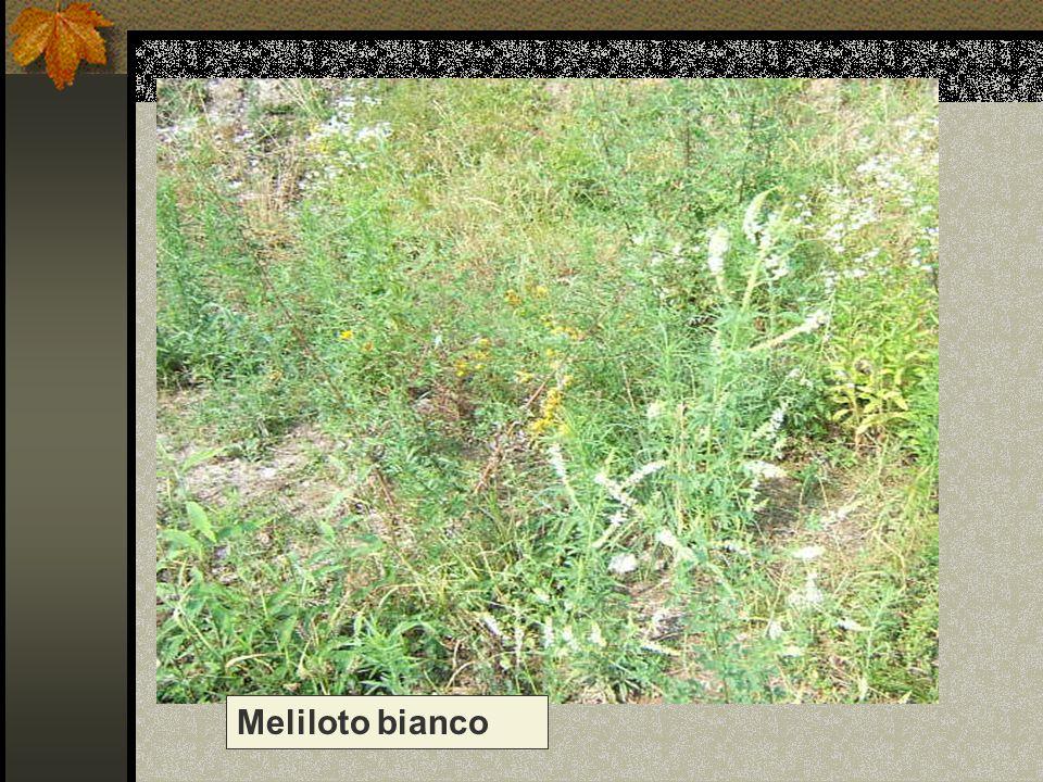 Meliloto bianco Nome scientifico/popolare: melilotus alba