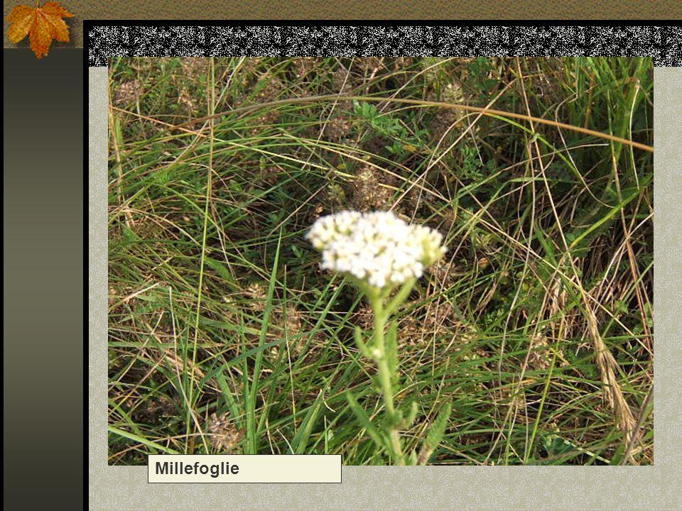 Millefoglie Nome scientifico/popolare: achillea millefolium