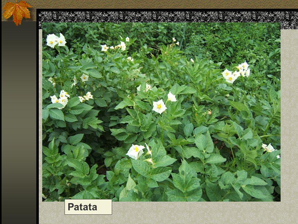 Patata Nome scientifico/popolare : solanum tuberosum