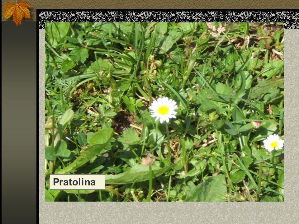 Pratolina Nome scientifico/popolare: bellis perennis, margheritina