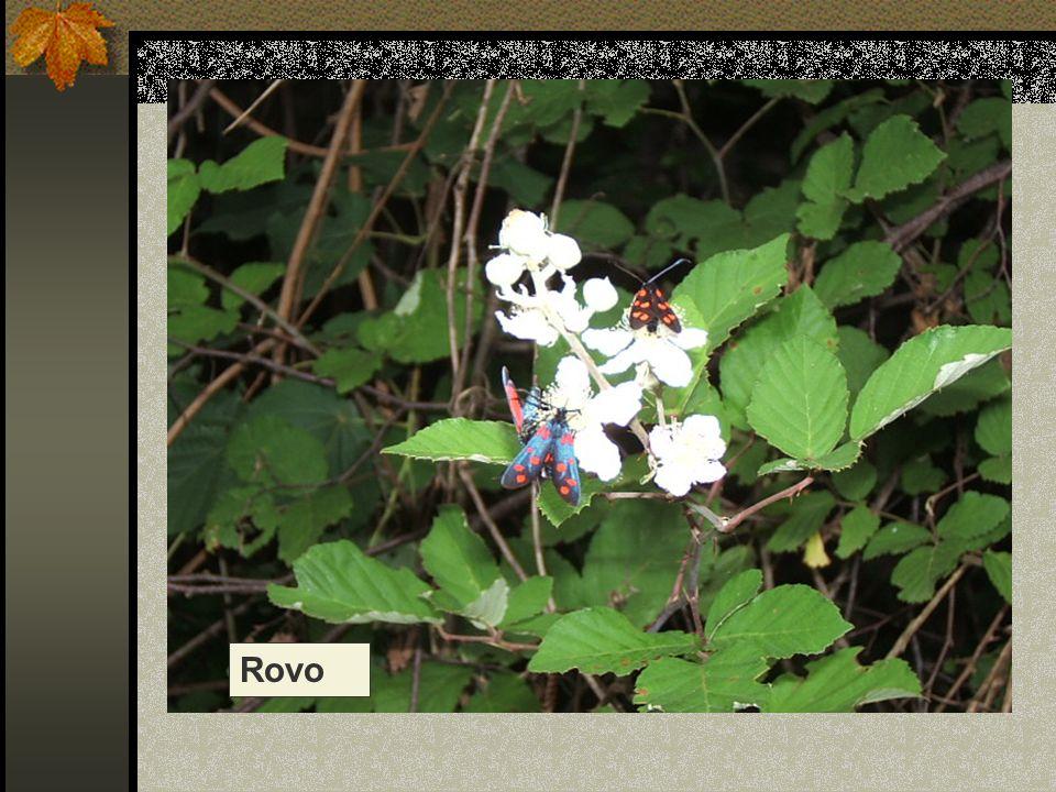 Rovo Nome scientifico/popolare: rubus ulmifolius Famiglia : Rosacee