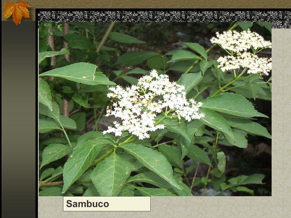 Sambuco Nome scientifico/popolare: sambuco nero o comune