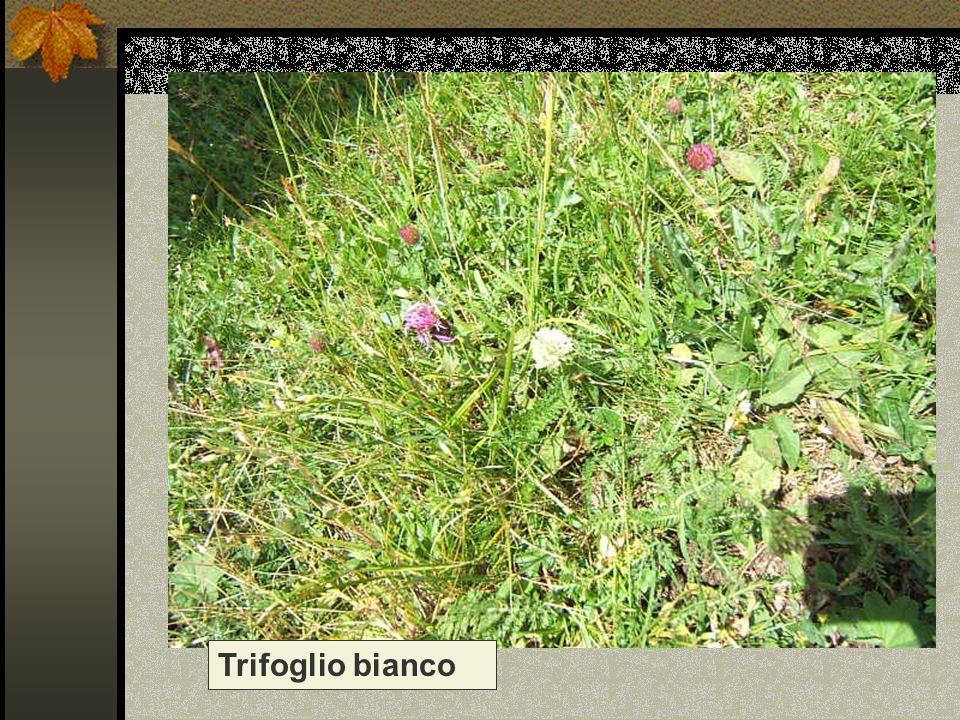 Trifoglio bianco Nome scientifico/popolare: trifolium repens