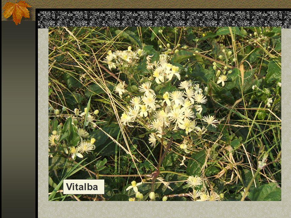 Vitalba Nome scientifico/popolare: clematis vitalba