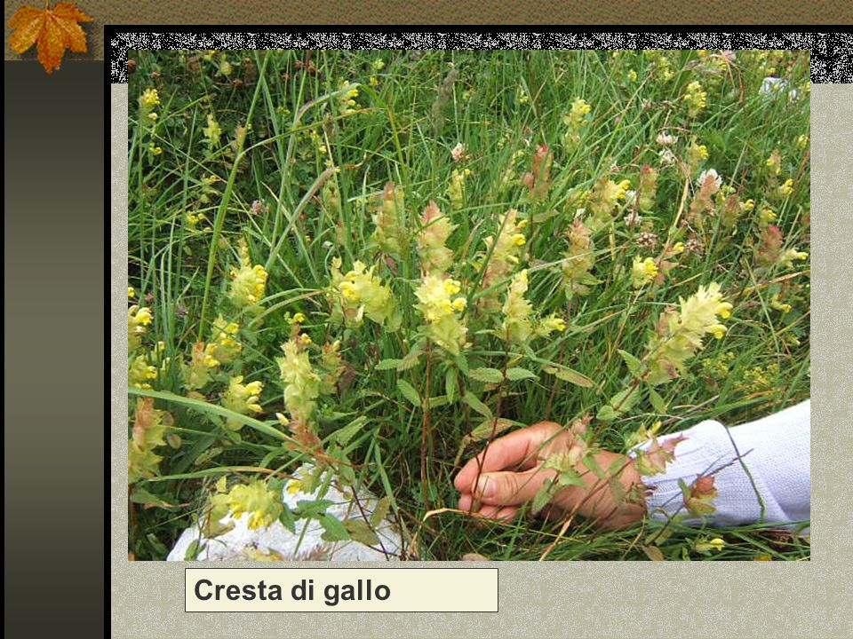 Cresta di gallo Nome scientifico/popolare : rhinanthus minor