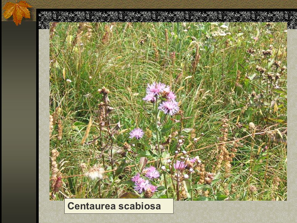 Centaurea scabiosa Nome scientifico/popolare : centaurea scabiosa