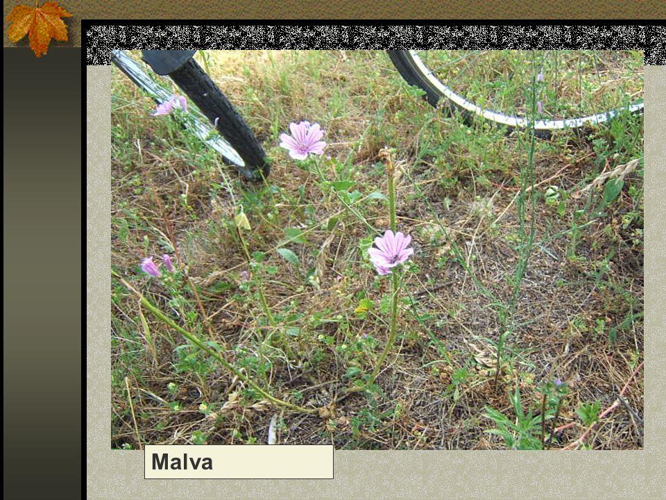 Malva Nome scientifico/popolare: malva sylvestris Famiglia : Malvacee