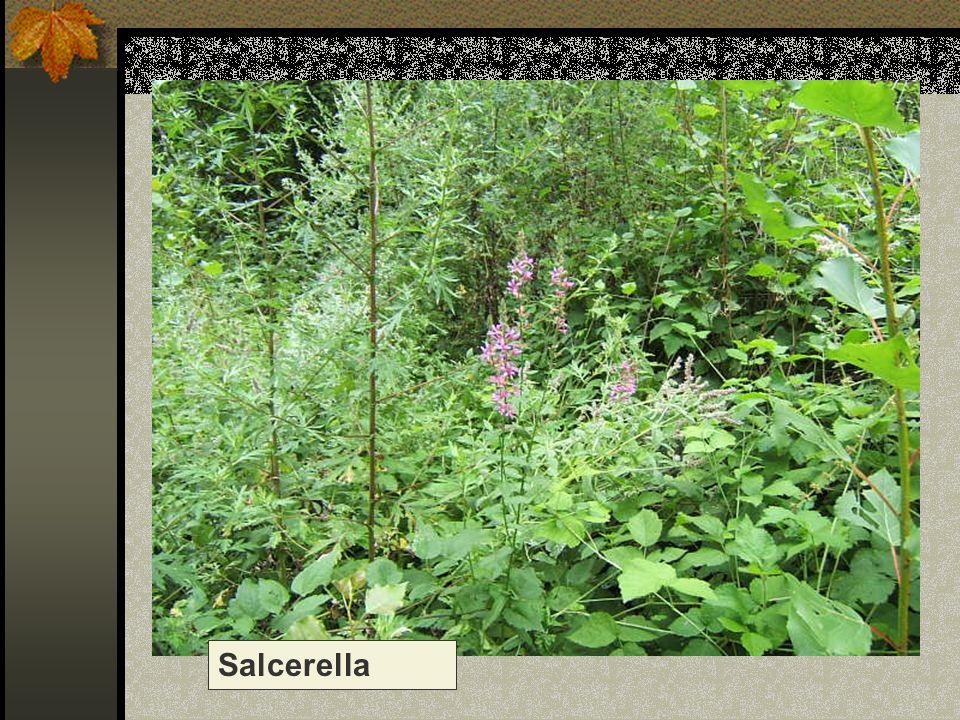 Salcerella Nome scientifico/popolare : lythrum salicaria