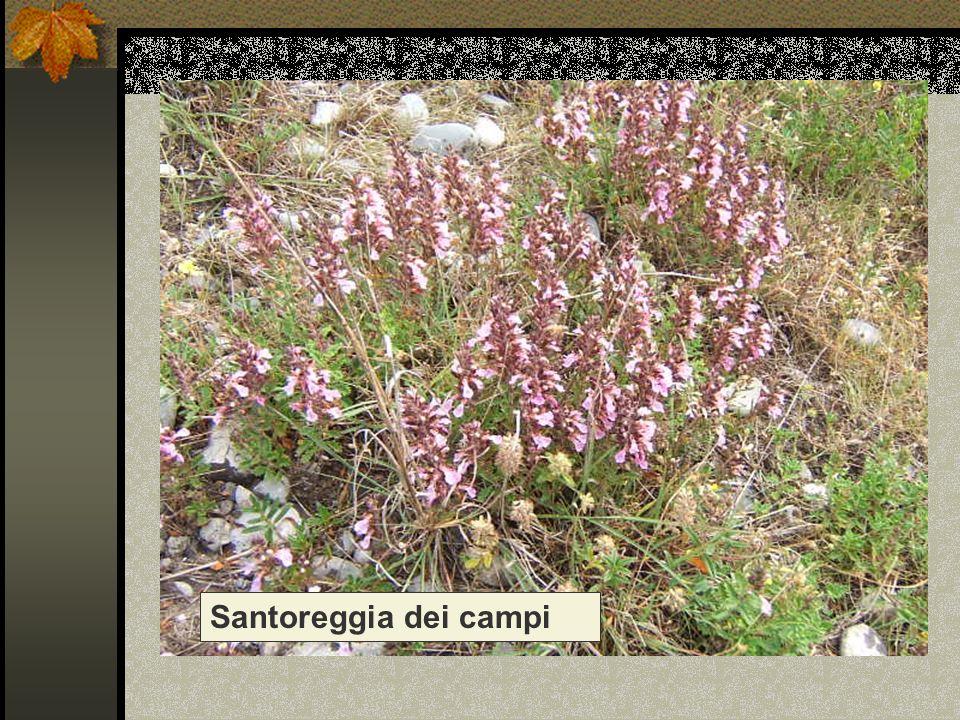 Santoreggia dei campi Nome scientifico/popolare: Acinos arvensis
