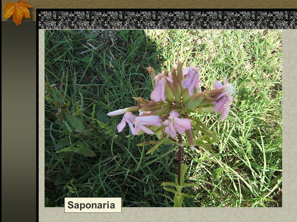 Saponaria Nome scientifico/popolare : saponaria officinalis