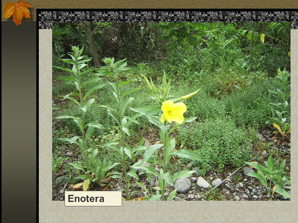 Enotera Nome scientifico/popolare: oenothera macrocarpa