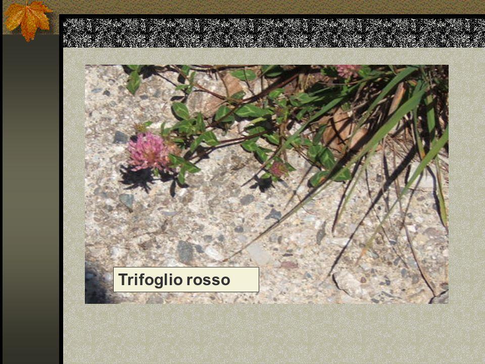 Trifoglio rosso Nome scientifico/popolare: trifolium pratense