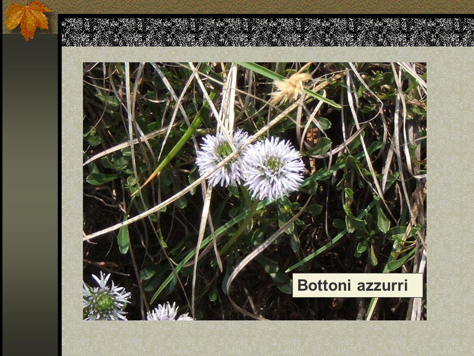 Nome scientifico/popolare : globularia cordifolia / vedovella celeste