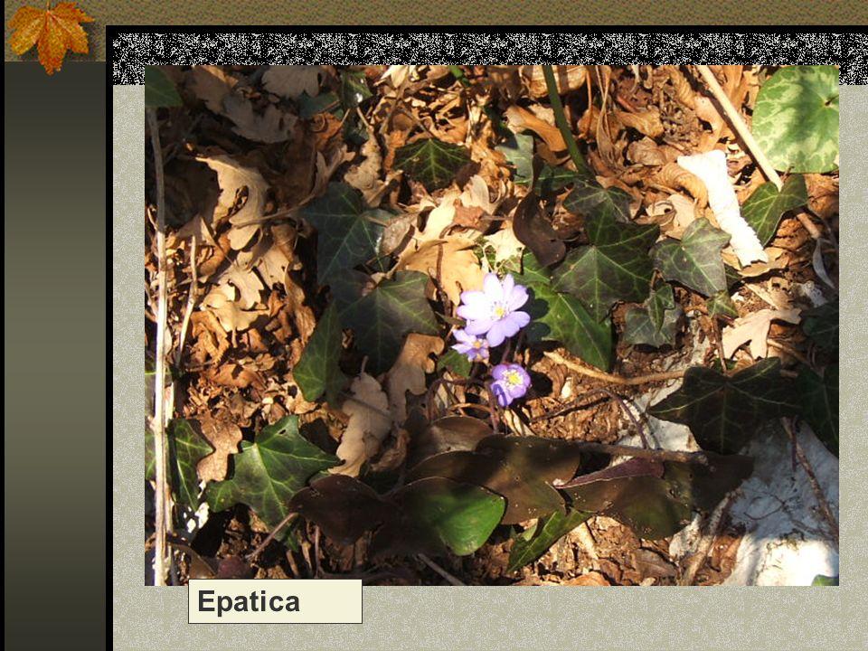 Epatica Nome scientifico/popolare: hepatica triloba – anemone epatica