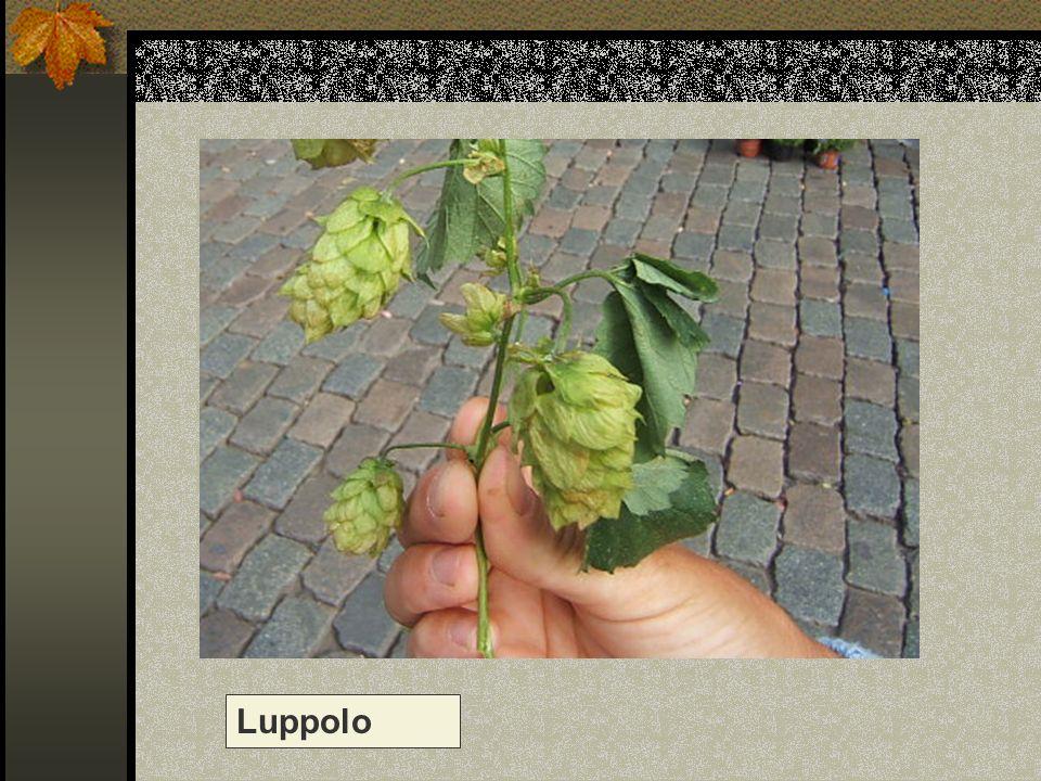 Luppolo Nome scientifico/popolare: humulus lupulus