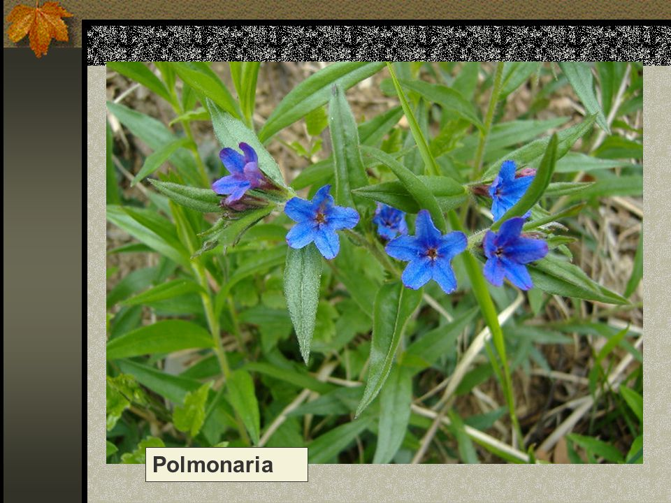 Polmonaria Nome scientifico/popolare: pulmonaria officinalis