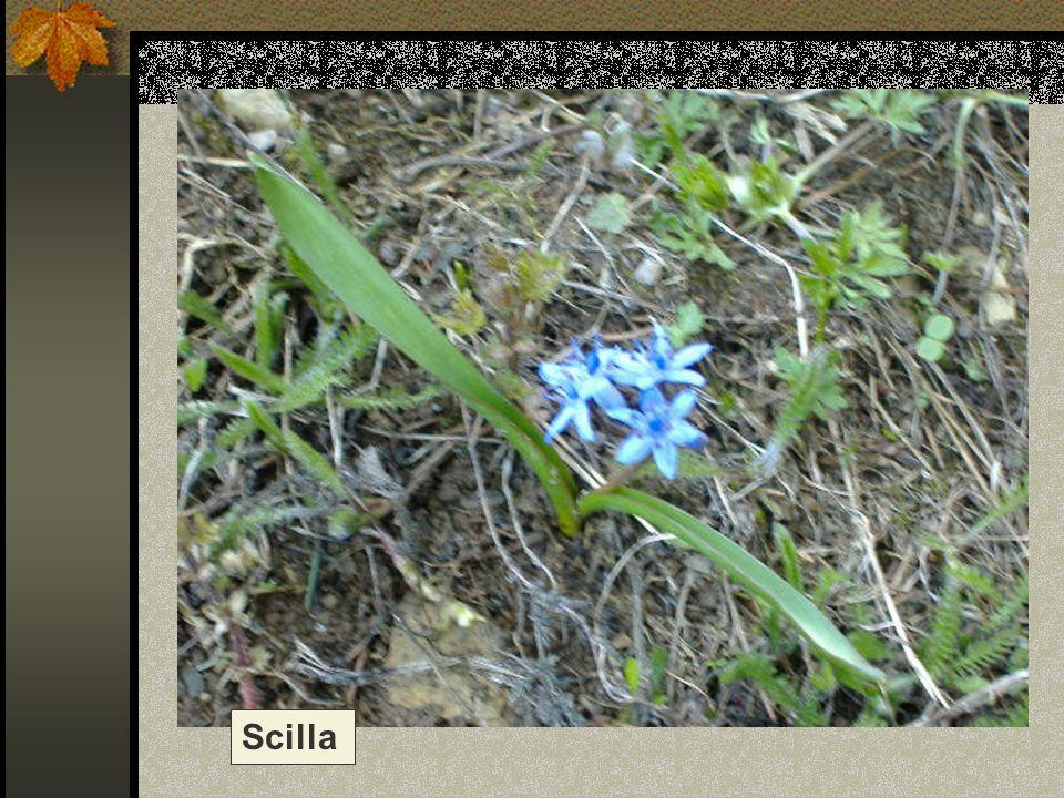 Scilla Nome scientifico/popolare: scilla bifolia Famiglia : Liliacee