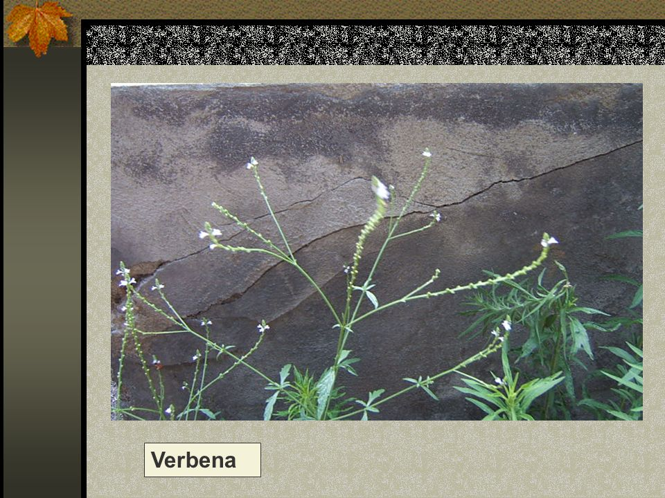 Verbena Nome scientifico/popolare: verbena officinalis