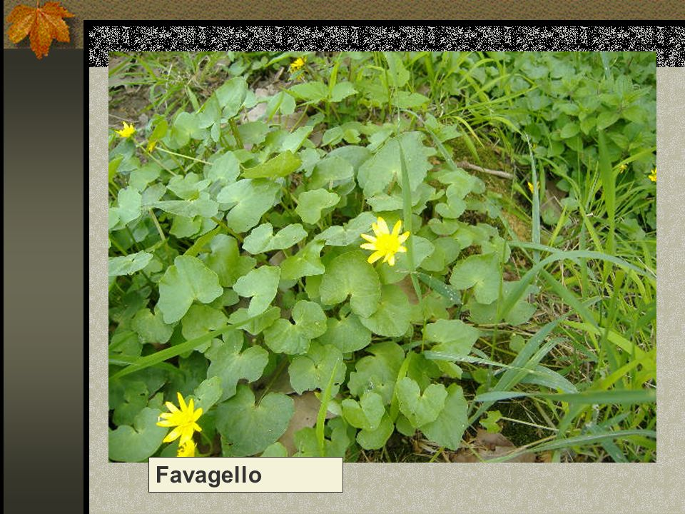 Favagello Nome scientifico/popolare:ranunculus ficaria