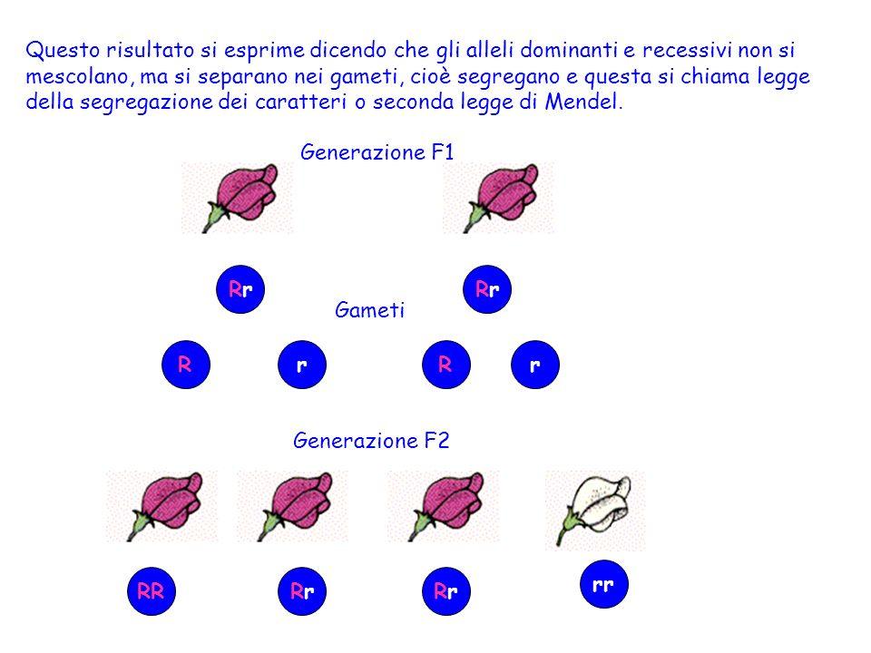 Questo risultato si esprime dicendo che gli alleli dominanti e recessivi non si mescolano, ma si separano nei gameti, cioè segregano e questa si chiama legge della segregazione dei caratteri o seconda legge di Mendel.