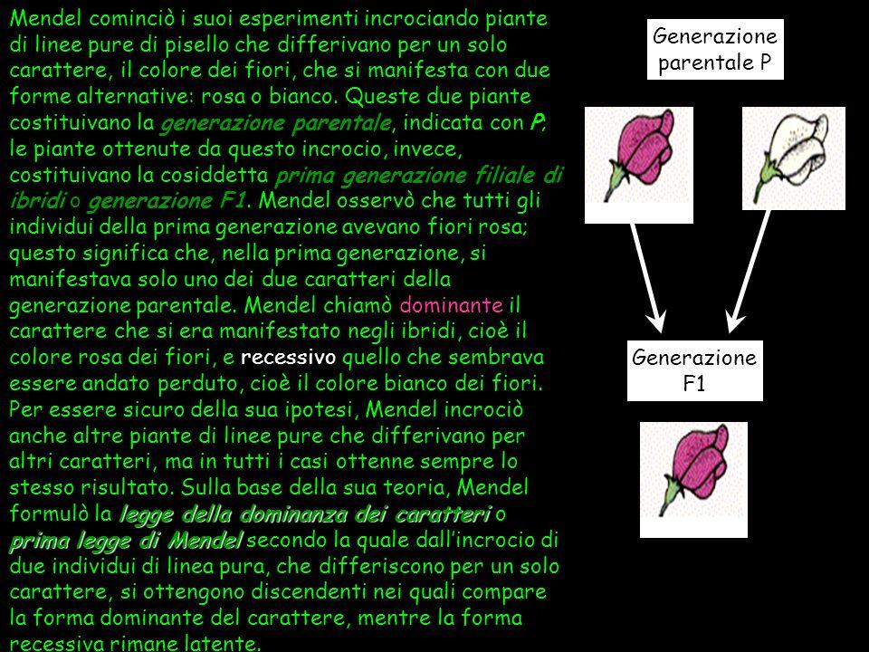 Mendel cominciò i suoi esperimenti incrociando piante di linee pure di pisello che differivano per un solo carattere, il colore dei fiori, che si manifesta con due forme alternative: rosa o bianco. Queste due piante costituivano la generazione parentale, indicata con P; le piante ottenute da questo incrocio, invece, costituivano la cosiddetta prima generazione filiale di ibridi o generazione F1. Mendel osservò che tutti gli individui della prima generazione avevano fiori rosa; questo significa che, nella prima generazione, si manifestava solo uno dei due caratteri della generazione parentale. Mendel chiamò dominante il carattere che si era manifestato negli ibridi, cioè il colore rosa dei fiori, e recessivo quello che sembrava essere andato perduto, cioè il colore bianco dei fiori. Per essere sicuro della sua ipotesi, Mendel incrociò anche altre piante di linee pure che differivano per altri caratteri, ma in tutti i casi ottenne sempre lo stesso risultato. Sulla base della sua teoria, Mendel formulò la legge della dominanza dei caratteri o prima legge di Mendel secondo la quale dall'incrocio di due individui di linea pura, che differiscono per un solo carattere, si ottengono discendenti nei quali compare la forma dominante del carattere, mentre la forma recessiva rimane latente.