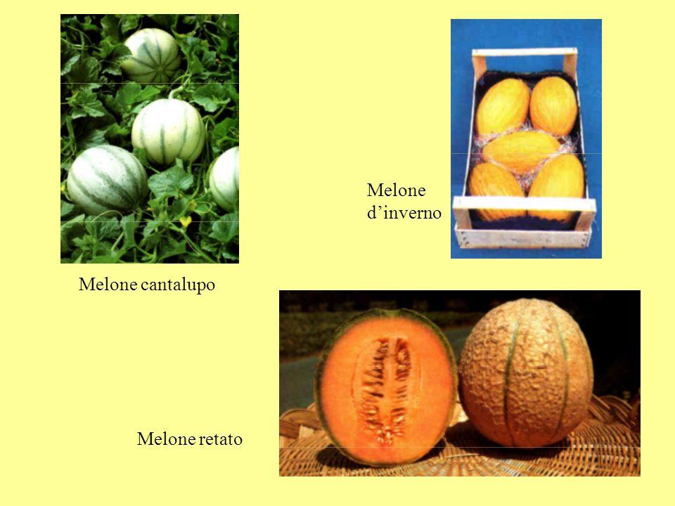 Melone d'inverno Melone cantalupo Melone retato
