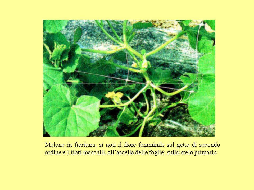 Melone in fioritura: si noti il fiore femminile sul getto di secondo ordine e i fiori maschili, all'ascella delle foglie, sullo stelo primario