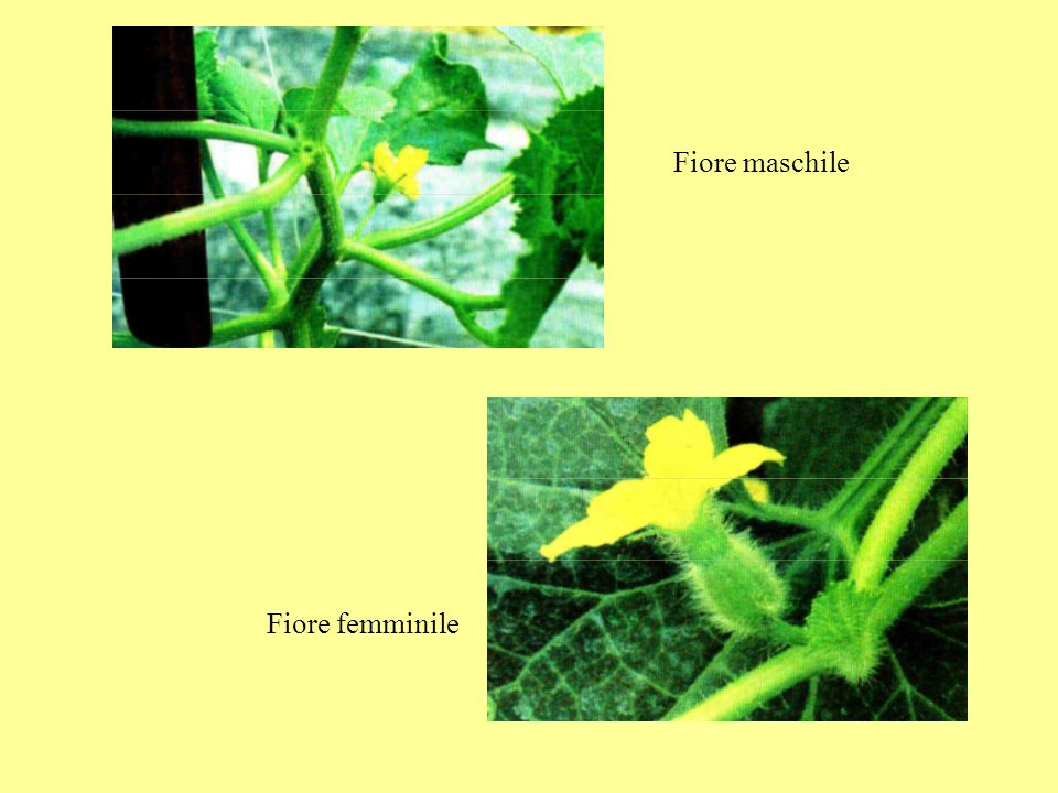 Fiore maschile Fiore femminile