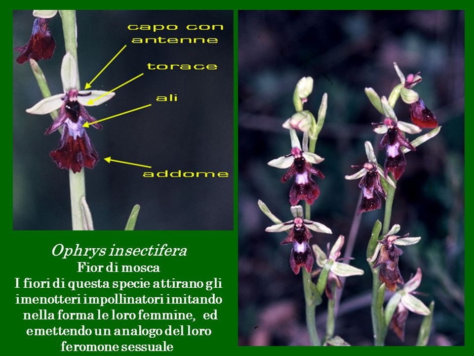 Ophrys insectifera Fior di mosca