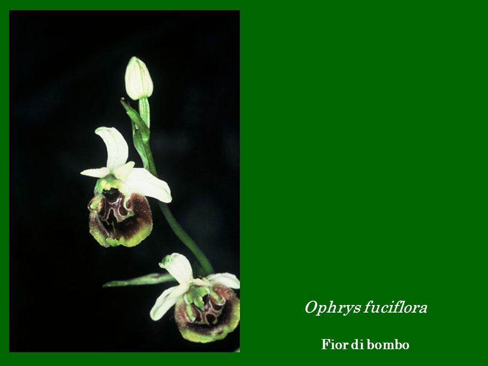 Ophrys fuciflora Fior di bombo