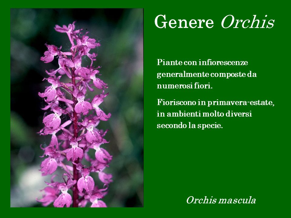 Genere Orchis Orchis mascula
