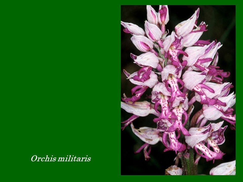 Orchis militaris