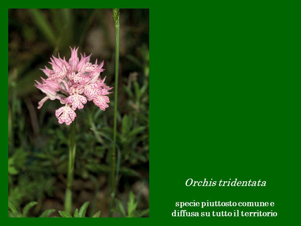 Orchis tridentata specie piuttosto comune e diffusa su tutto il territorio