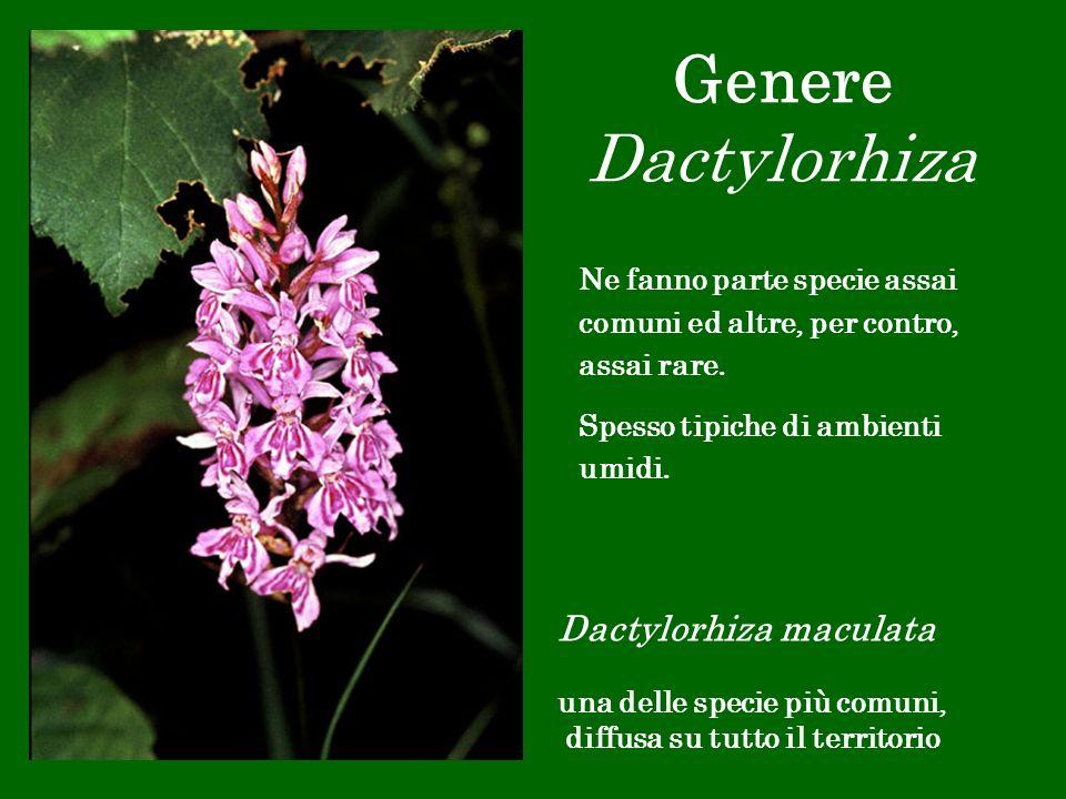 Genere Dactylorhiza Ne fanno parte specie assai comuni ed altre, per contro, assai rare. Spesso tipiche di ambienti umidi.