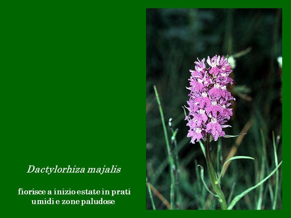 fiorisce a inizio estate in prati umidi e zone paludose