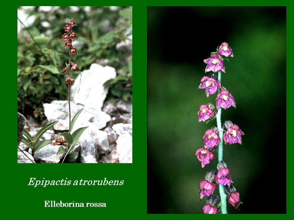 Epipactis atrorubens Elleborina rossa