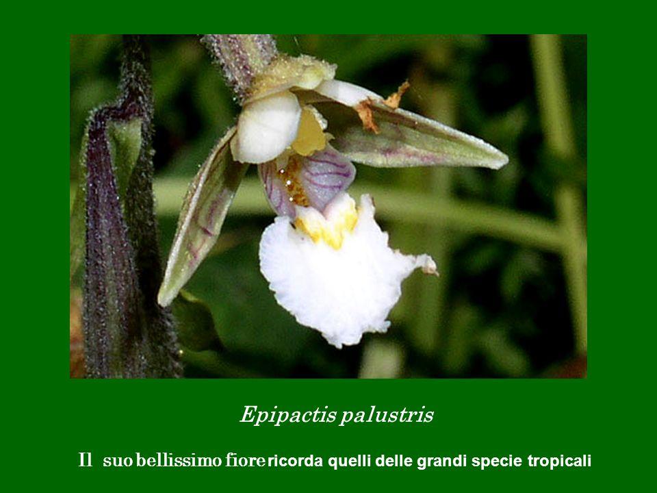Epipactis palustris Il suo bellissimo fiore ricorda quelli delle grandi specie tropicali