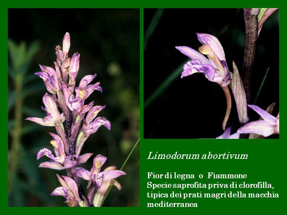 Limodorum abortivum Fior di legna o Fiammone
