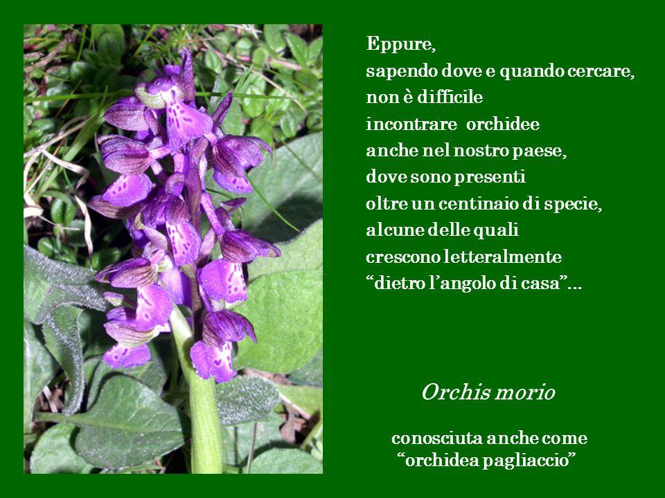 Orchis morio conosciuta anche come orchidea pagliaccio