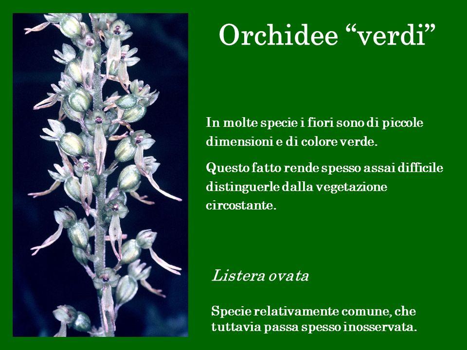 Orchidee verdi Listera ovata