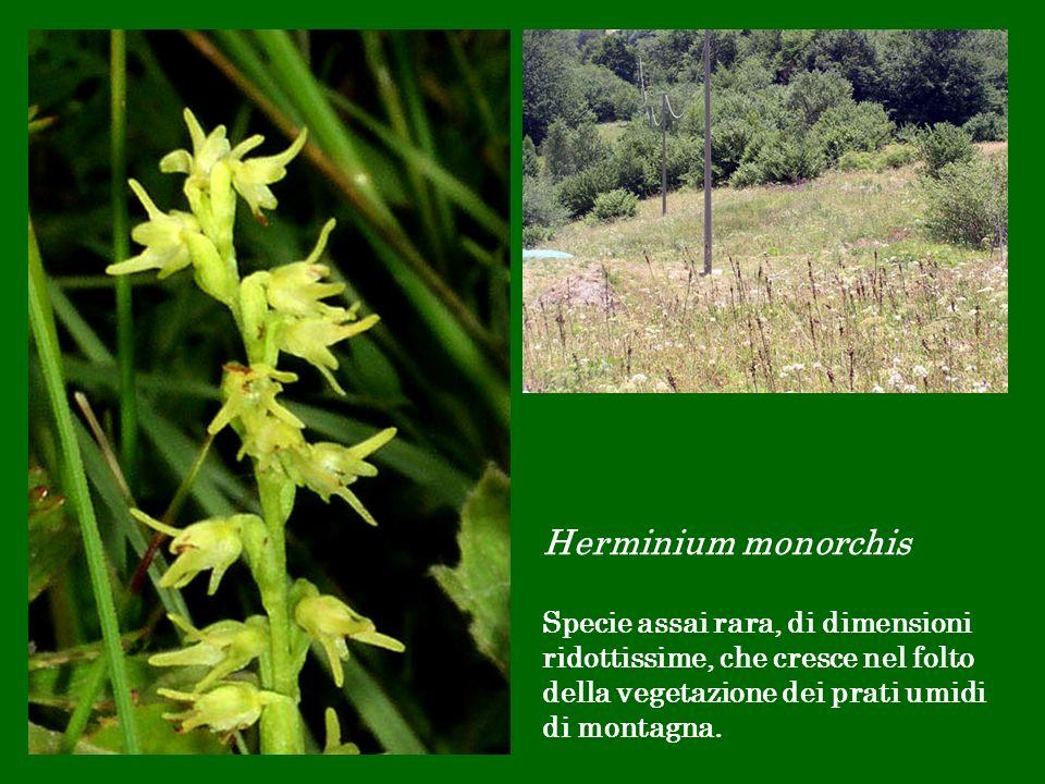 Herminium monorchis Specie assai rara, di dimensioni ridottissime, che cresce nel folto della vegetazione dei prati umidi di montagna.