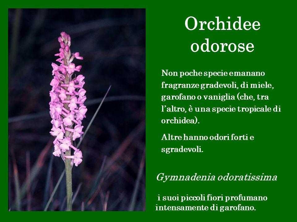 Orchidee odorose Gymnadenia odoratissima