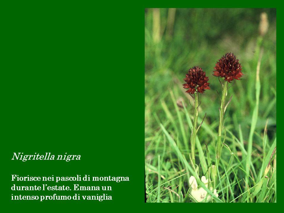 Nigritella nigra Fiorisce nei pascoli di montagna durante l'estate.