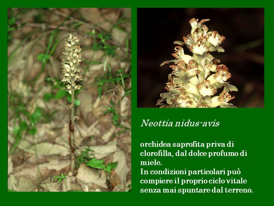Neottia nidus-avis orchidea saprofita priva di clorofilla, dal dolce profumo di miele.