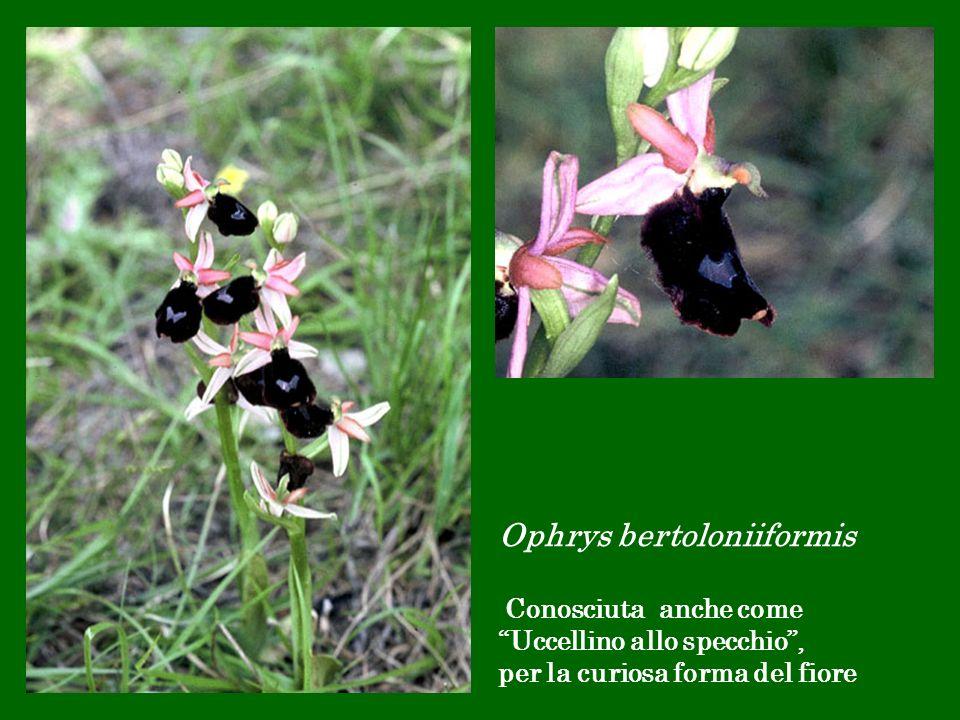 Ophrys bertoloniiformis Conosciuta anche come Uccellino allo specchio , per la curiosa forma del fiore