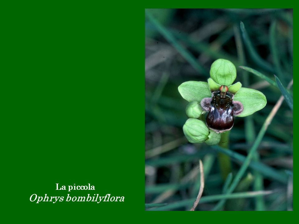 La piccola Ophrys bombilyflora