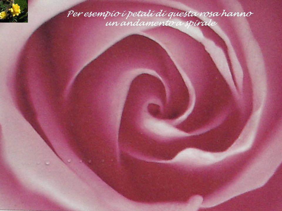 Per esempio i petali di questa rosa hanno