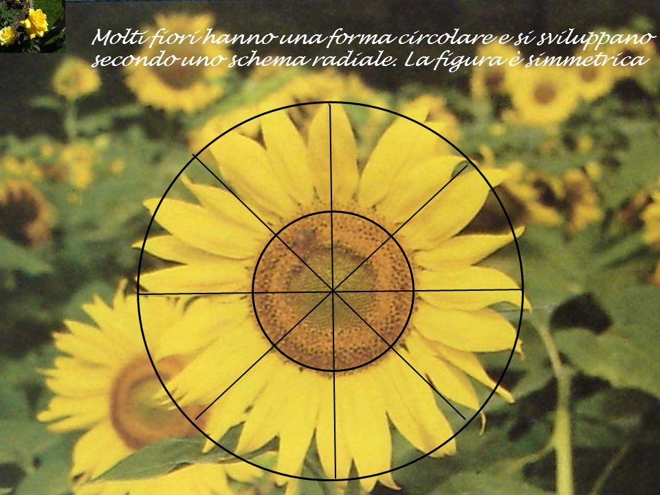 Molti fiori hanno una forma circolare e si sviluppano